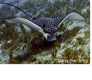 טחן עינוני – Ocellated Eagle Ray