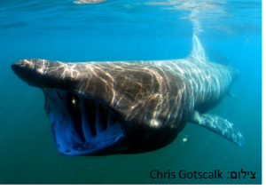 כריש ענק – Basking Shark