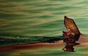 תוכנית פעולה להגנה של כרישים ובטאים בים התיכון