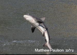 כריש קצר-גף – Spinner Shark