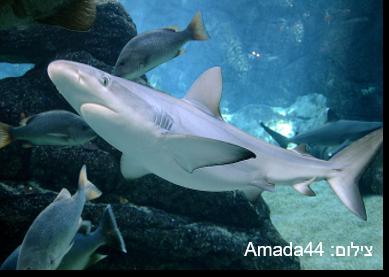 כריש שחור-שוליים – Blacktip Shark