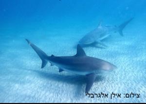 כריש עפרורי – Dusky Shark