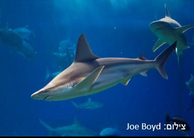 כריש סנפירתן – Sandbar Shark