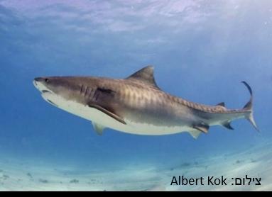 כריש טיגריסי – Tiger Shark