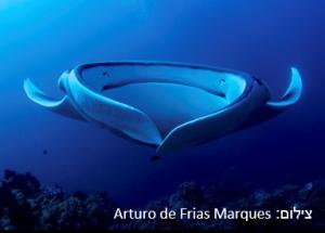 מנטה ענק – Giant Manta Ray
