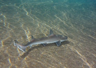 כרישון מובהק – Common Smoothhound