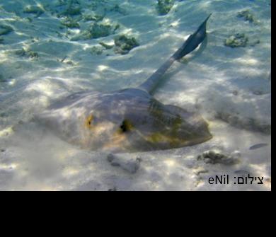 טריגון כנוף-זנב – Cowtail Stingray