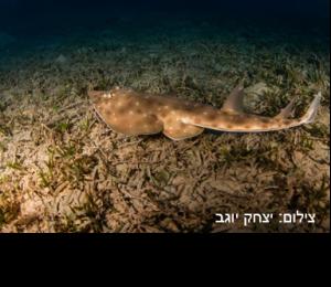 גיטרן נקוד – Spotted Guitarfish