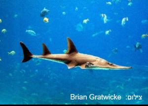 כינורן ברוד – Giant Guitarfish