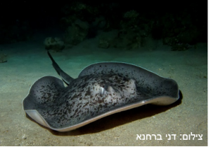 מחבטן עגול – Round Ribbontail Ray